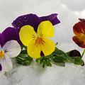 写真: 雪の中から顔出して