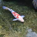 写真: おなかが空いた鯉