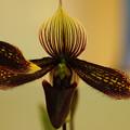 写真: 珍しい蘭