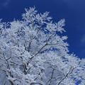 写真: 霧 氷