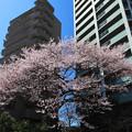 写真: 杜の都の街桜