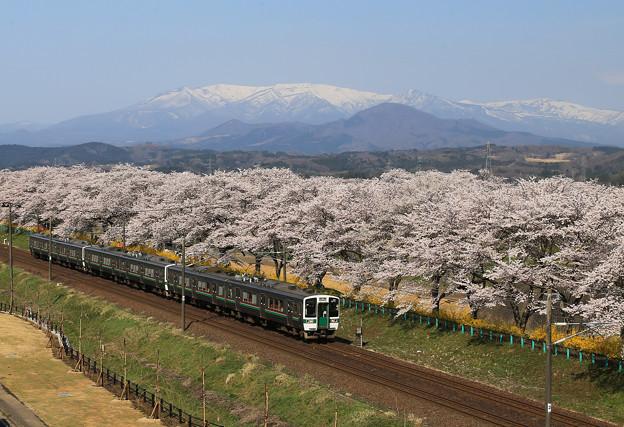 写真: みちのく桜絶景の旅