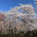 写真: 桜の満開宣言