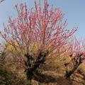 写真: 花見山は花盛り