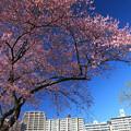 写真: 美妙な街桜