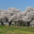 写真: 春物語・桜の道