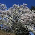 写真: 松島は花盛り