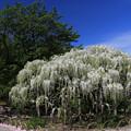 写真: 白藤の美しさ