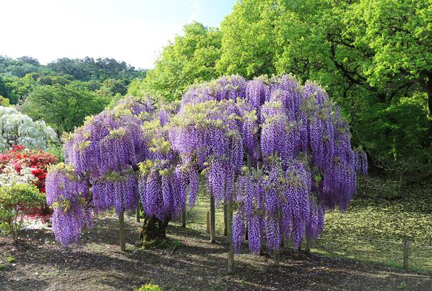 Photos: 紫ふじの美々しさ