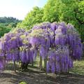 写真: 紫ふじの美々しさ