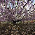 写真: 藤の巨木