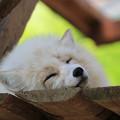 写真: キツネの寝顔
