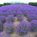 広大なラベンダー畑