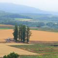 北の大地の麦畑