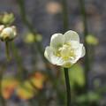 Photos: 高原に咲く可愛い花