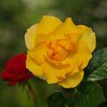 Photos: 咲きほこる薔薇