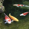 写真: 錦鯉の食事の時間