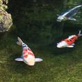 写真: 初秋を泳ぐ錦鯉