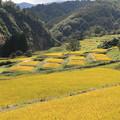 写真: 黄金色の四ヶ村棚田