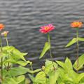 写真: 水辺の百日草
