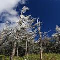 写真: 八幡平の霧氷