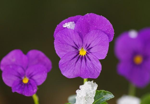 写真: 雪降る庭に咲く