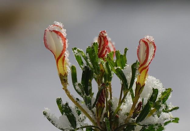 写真: 凍り付いたオキザリス