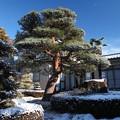 写真: 赤松の雪化粧