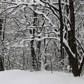 写真: 雪の森