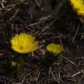 写真: 春の使者
