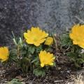 写真: 庭に咲く福寿草