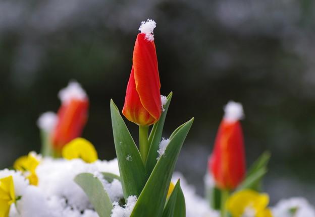 写真: チューリップ雪化粧