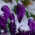 写真: 春雪の冷たさ