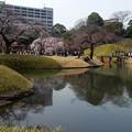写真: 桜咲く小石川後楽園