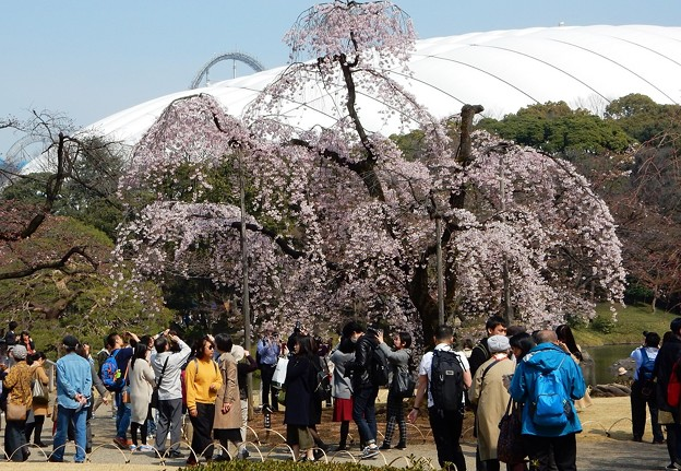 写真: 東京ドームに桜添えて