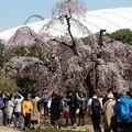 東京ドームに桜添えて