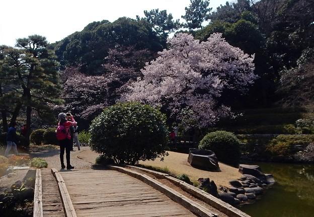 写真: 陽光浴びた新宿の桜