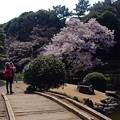 陽光浴びた新宿の桜