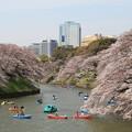 写真: 千鳥ヶ淵の桜絶景