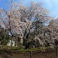 写真: 六義園しだれ桜