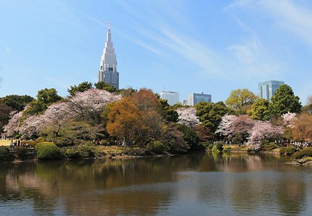 写真: 新宿御苑桜のころ