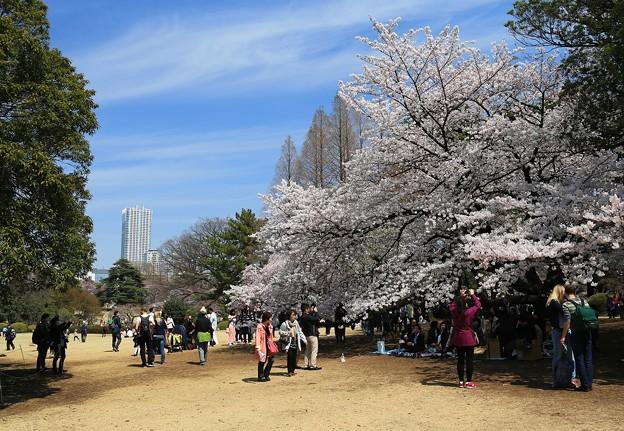 写真: 花見日和の新宿御苑