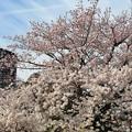写真: 国立劇場の桜