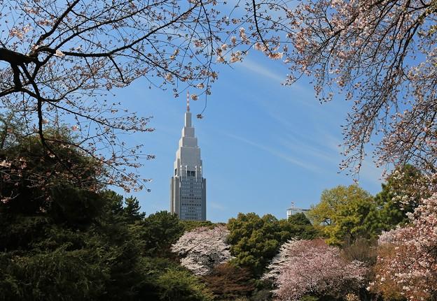 写真: 桜と新緑の爽やかさ