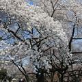写真: 華やかに咲いた桜