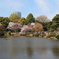 写真: 待ちわびた桜