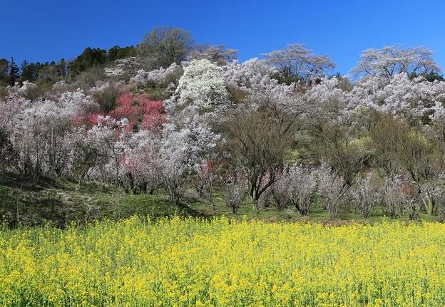 写真: 咲き誇る花見山