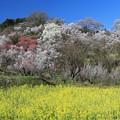 咲き誇る花見山