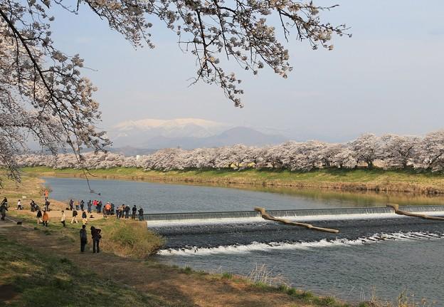 写真: 白石川の一目千本桜