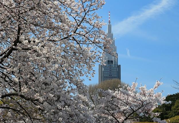 写真: 咲きほこる首都の桜